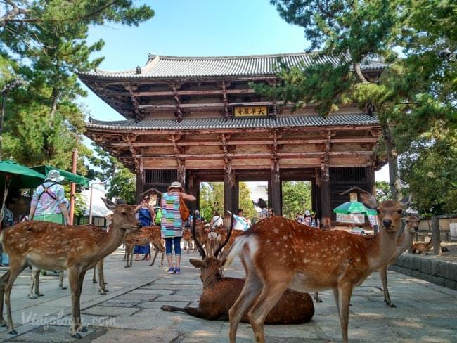 Ciervos sagrados de Nara en japón
