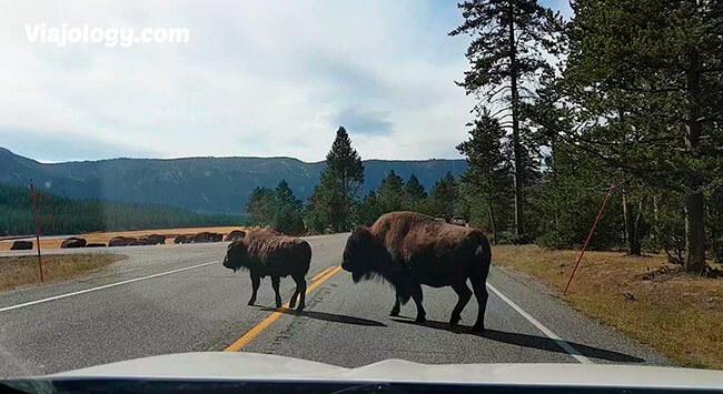 bisontes en Yellowstone